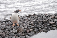 Eselspinguin (Paulet Island)