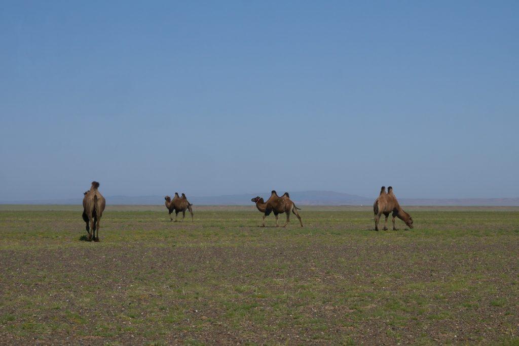 Es gibt sie tatsächlich: Kamele in der Mongolei