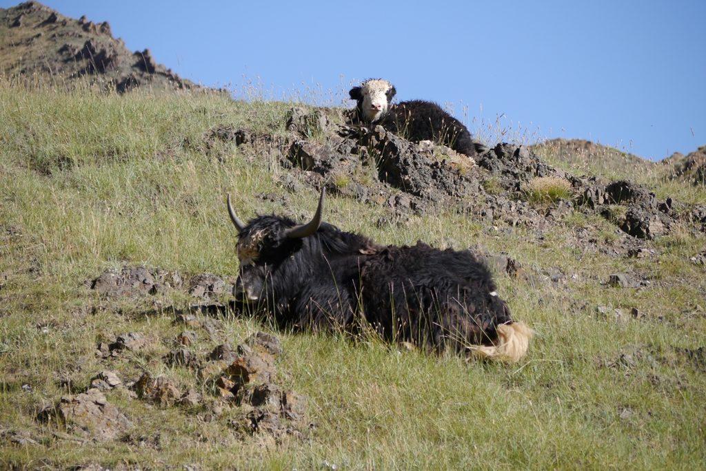 malerische Yaks
